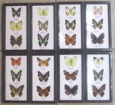 A very colourful collection of Asian Butterflies – 25 x 13,5cm  (8)