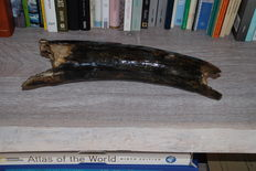 Woolly Mammoth (Mammuthus primigenius) - Tuskpart - length 42cm