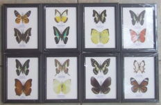 Interesting collection of Asian Butterflies - 17,5 x 13,5cm  (8)