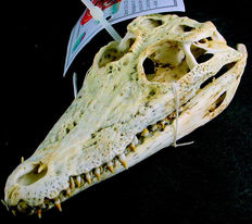 Nile Crocodile skull - Crocodylus niloticus - 140mm