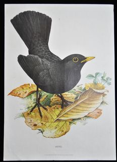 Lot of 3 school posters with garden birds (Blackbird -Nightingale - White Wagtail). Edition on paper reinforced with linen. Edition in the series of Cramer organic wall posters.