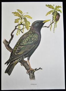 Lot of 3 school posters with garden birds (Starling - Wren - Hawfinch).  Edition on paper reinforced with linen. Edition in the series of Cramer organic wall posters.