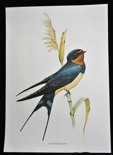 Lot of 2 school posters with garden birds (House Martin -Barn swallow).  Edition on paper reinforced with linen. Edition in the series of Cramer organic wall posters.