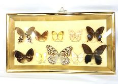 Fine gilt-framed Exotic Butterfly display case - 48 x 27cm