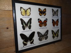 Exotic Butterflies in luxury framing – 33 x 25 cm