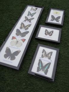 Collection of butterflies in frame - 4 frames