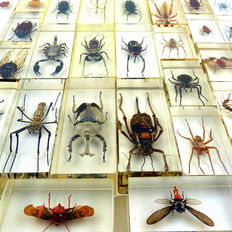 Extensive collection of Exotic Insects, under Plexiglass - 110 x 46mm and 70 x 40mm  (40)