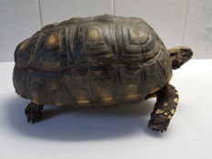 Taxidermy - Red-footed Tortoise, formalin-treated - Chelonoidis carbonarius - 21cm