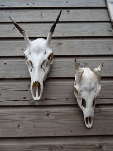 Red Deer and Fallow Deer skulls with first year Antler growth - Cervus elaphus and Dama dama - 40 and 30cm  (2)