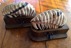 Antique Elephant molars, set in hand-carved Oak bases - 32 x 25cm - 11.650kg  (2)