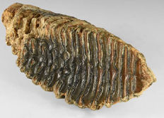 "British fossil Woolly Mammoth tooth - Mammuthus primigenius - 20 cm (8"")"