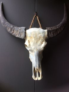 Fanatstic very decorative water buffalo skull, natural