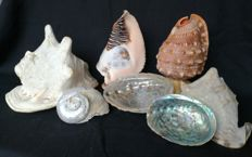 Small collection of decorative Conch, Whelk and Abalone shells - 10 to 23cm  (7)