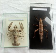 Signal Crayfish and Thorny Devil Stick Insect in glass display boxes - Pacifastacus leninsculus and Eurycantha horrida - 24 x 12cm and 16 x 12cm  (2)