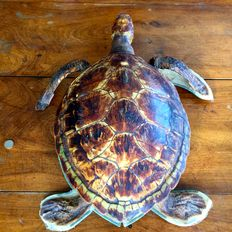 Taxidermy - Antique, pre-1947 Loggerhead Sea Turtle - Caretta caretta - 57 x 53cm - 3280gm