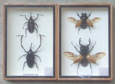 Fine Entemology display cases - Stag Beetles and Bamboo Beetles - 17,5 x 12,5cm  (2)