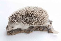 Taxidermy - European Hedgehog - Erinaceus europaeus - 22cm
