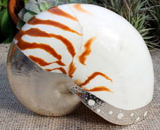 Unique - Nautilus pompilius Pearl shell with sterling silver parts - silver plated 925 - for collectors and enthusiasts