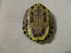 Painted Turtle full carapace - Chrysemys picta - 15.5 x 13cm