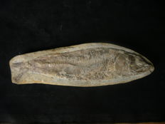 Fossil Fish - Rhacolepis sp. - 16 cm