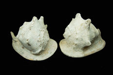 Pair large Horned Helmet Shells - Cassis cornuta - 28 and 29cm - 5,6kg  (2)