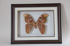 Atlas Moth in 3-D display case - the world's largest moth - Attacus atlas - 40 x 32cm
