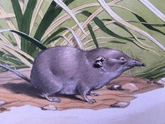 "Neave Parker (1910-1961) - Original illustration ""Musk shrew"" - early 1950s"
