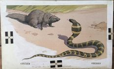 "Neave Parker (1910-1961) - Original illustration ""Indian mongoose"" - early 1950s"