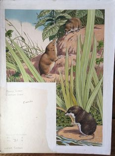 "Neave Parker (1910-1961) - Original illustration of three species of ""Shrews"" - early 1950s"