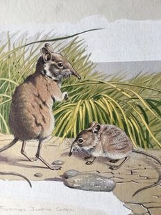 "Neave Parker (1910-1961) - Original illustration ""Four-toed jumping shrew"" - early 1950s"