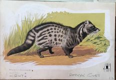 "Neave Parker (1910-1961) - Original illustration ""African civet"" - early 1950s"