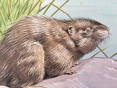 "Neave Parker (1910-1961) - Original illustration ""Musk rat"" - early 1950s"