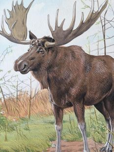 "Neave Parker (1910-1961) - Original illustration ""Moose"" - early 1950s"