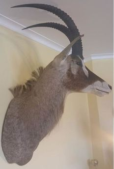 Top Taxidermy - Roan Antelope shoulder-mount, with left turn - Hippotragus equinus - 116cm