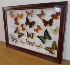 Fine vintage Exotic Butterfly wall-hung, hardwood display case - 48 x 34cm