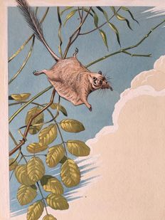 "Neave Parker (1910-1961) - Original illustration ""Pygmy scaly-tailed flying squirrel"" - early 1950s"