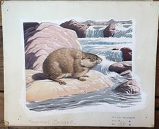 "Neave Parker (1910-1961) - Original illustration ""Mountain beaver"" - early 1950s"