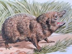 "Neave Parker (1910-1961) - Original illustration ""Common tenrec"" - early 1950s"