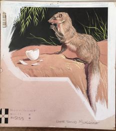 "Neave Parker (1910-1961) - Original illustration ""White-tailed mongoose"" - early 1950s"