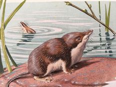 "Neave Parker (1910-1961) - Original illustration ""Himalayan water shrew"" - early 1950s"