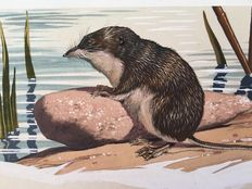 "Neave Parker (1910-1961) - Original illustration ""Water shrew"" (Limnogale) - early 1950s"