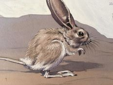 "Neave Parker (1910-1961) - Original illustration ""Long-eared jerboa"" - early 1950s"