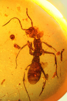 Oldest ANT brood care from BURMA Amber 100 MILLION YEARS 0.5cm