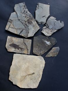 Fossil collection Permian, 2 fish, Branchiosaurus, plant (4)