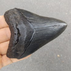 Fossil shark tooth - Carcharocles megalodon - 9.8 cm