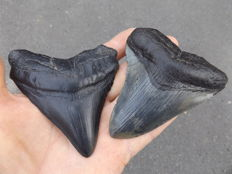 Fossil shark teeth - Carcharodon megalodon - 9,8 and 9,6cm (2 pieces)