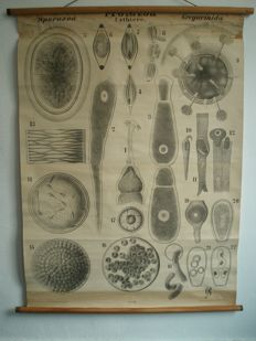 Antique and scientific school poster Sporozoa Protozoa (Uhrthiere) Gregarinida, by Dr. Leuckart and Dr. Nitsche, poster about 135 years old