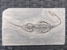 Swimming reptile - Keichousaurus hui - 16.3 cm (22 cm in stretched position)