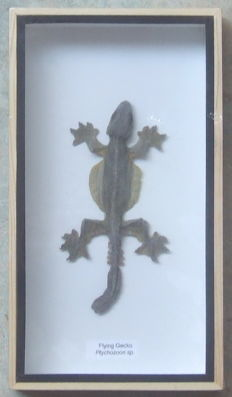 Taxidermy - Flying Gecko - Ptychozoon sp - 23 x 12,5cm