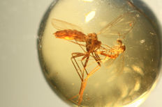 Oldest DUO LONG LEGGED FLY and SCIARID in BURMA AMBER 0.5cm